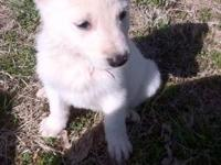 We have 4 AKC Registered German Shepherd Puppies for