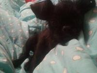 My fiance and I have a Affenpinscher, our little Levi,