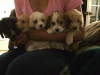 Hello! I am selling Maltipoo puppies! They are 2nd