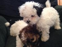 I have 2 very RARE and small cute F1b Yorkie-poo