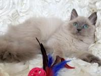 Rare, gorgeous, TICA blue colorpoint MINK male Ragdoll