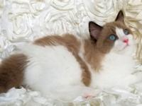 Rare, beautiful, TICA seal bicolor MINK male Ragdoll