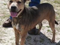 Rascal is a large male Bulldog mix, brindle in color.