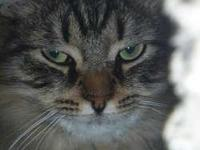 Attractive 7-month-old long-haired tabby female. She is