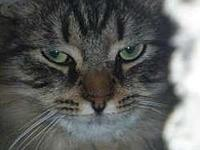 Rascal's story Attractive 7-month-old long-haired tabby