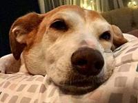 Rascal's story RASCAL | 8 YEARS OLD | LAB/CORGI MIX |