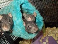 Rat - 3 Ratty Girls - Small - Young - Female - Small &