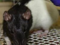 Rat - A838313 - Small - Young - Female - Small & Furry