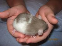 I have several Rat babies both male & female that are