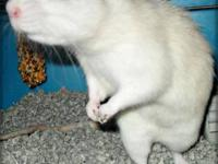 Rat - Boomer - Small - Adult - Male - Small & Furry