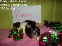 Rat - Candy Themed Litter - Medium - Baby - Female