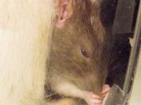 Rat - Jake - Small - Young - Male - Small & Furry We