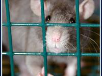 Rat - Joule & Ginger* - Medium - Young - Female - Small