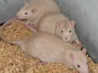 Rat - Pet Rats - Small - Young - Female - Small &