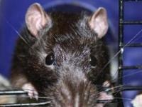 Rat - Provolone - Small - Adult - Male - Small & Furry