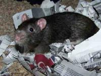 Rat - Rosie* - Medium - Adult - Female - Small & Furry
