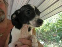 Rat Terrier - # 1 Puppies 12 Of Them - Small - Young -