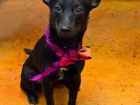 Rat Terrier - 13-0014 / 6-1-0009 - Small - Baby -