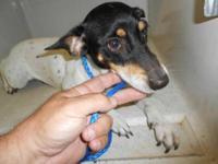 Rat Terrier - Abigail - Small - Young - Female - Dog