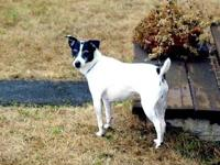Very sweet, lovable, spayed female Rat Terrier. She