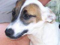 Rat Terrier - Andy - Medium - Young - Male - Dog We are