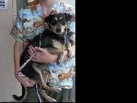 Rat Terrier - Ariana - Medium - Adult - Female - Dog