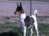 Rat Terrier - Barkley - Medium - Adult - Male - Dog