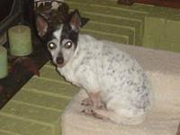 Rat Terrier - Barkley - Small - Adult - Male - Dog
