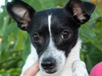 Rat Terrier - Batman - Small - Young - Male - Dog This