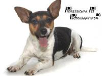 Rat Terrier - Bella Donna - Small - Adult - Female -