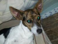 Rat Terrier - Benny - Medium - Young - Male - Dog <span