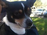Rat Terrier - Bitsy - Small - Young - Female - Dog