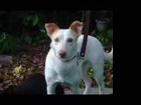 Rat Terrier - Casper - Medium - Adult - Male - Dog