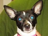 Rat Terrier - Chaka - Small - Adult - Female - Dog