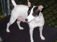 Rat Terrier - 'chandler' - Small - Baby - Male - Dog