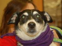 Rat Terrier - Cheese - Small - Adult - Male - Dog