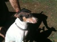 Rat Terrier - Chewie - Small - Adult - Male - Dog