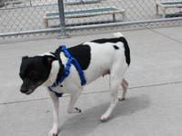 Rat Terrier - Chunky Monkey - Small - Senior - Female -