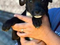 Rat Terrier - Cici - Medium - Baby - Female - Dog