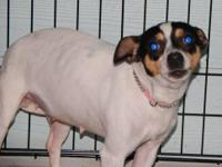 Rat Terrier - Cindy Lou - Small - Adult - Female - Dog