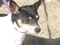 Rat Terrier - Connie - Small - Adult - Female - Dog