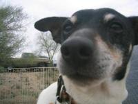 Rat Terrier - Dash - Small - Young - Male - Dog BLACK