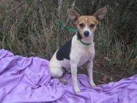 Rat Terrier - Davey - Small - Adult - Male - Dog SORRY,