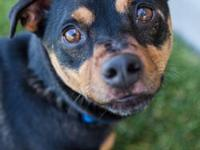 Rat Terrier - Diesel - Medium - Adult - Male - Dog