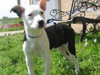 Rat Terrier - Dottie - Small - Adult - Female - Dog