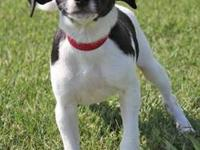 Rat Terrier - Dove - Small - Baby - Female - Dog