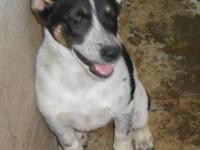 Rat Terrier - Dylan - Small - Adult - Male - Dog This