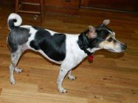 Rat Terrier - Faith - Small - Young - Female - Dog