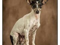 Rat Terrier - Fiona - Small - Adult - Female - Dog