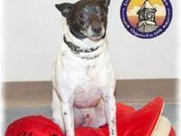 Rat Terrier - Flint - Small - Adult - Male - Dog Sweet